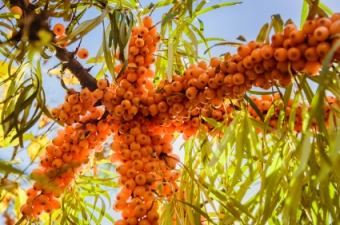 Juicy orange buckthorn berries on branches in sun